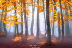 misty forest (Mimadeo) Tags: autumn forest fantasy dreamy leaf season red orange yellow bluenature tree landscape dark beautiful beauty background natural november october fall colorful color light wood woods sunlight sunshine vivid scenery moody mood atmosphere atmospheric ethereal magic fog mist morning foggy branch beech scenic misty foliage scene park