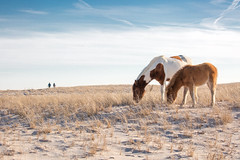 Winter Ponies on Dunes by Cynthia Herrick (Maryland DNR) Tags: 2018 photocontest mammal wildlife winter horses ponies assateague beach