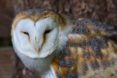 Barn Owl (monkeybeetle16) Tags: owl bird raptor wildlife nature barn photography nikon d3100 tamron 600mm lens