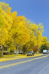Meadowlane (wyojones) Tags: wyoming cody meadowlane ashtrees fall fallcolor autumn town trees street pickup trailer camper leaves fallenleaves