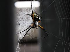TRAC (chad1380) Tags: audubon birds nature arachnids spiders orbweavers golden orbweaver