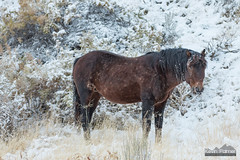 Horsicle (kevin-palmer) Tags: mcculloughpeakswildhorserange blm wild mustangs horses animals wildlife brown october fall autumn snow snowy cold white evening wyoming nikond750 nikon180mmf28 telephoto sagebrush