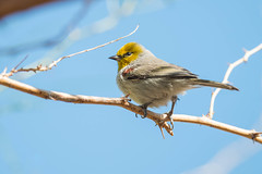 Verdin (Auriparus flaviceps) (byjcb) Tags: verdin birds henderson nevada unitedstates us