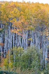 Aspen, Rocky Mountain National Park, Colorado, USA (Geraldine Curtis) Tags: rockymountainnationalpark colorado usa mountains rocky clouds snow aspen fallcolours silverbark firtrees green gold yellow