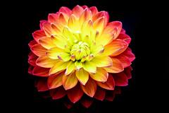 DSC_4649 (Stacey Conrad) Tags: americandahliasociety d7500 dahlia flower kennettsquare longwoodgardens nikon pa