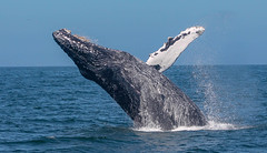 IMG_8899 (b_bev) Tags: montereybay monterey bay california usa wildlife sealife whales dolphins pelicans seals birdlife nature ocean sea