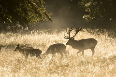 Red deers in Dyrehaven (Stig Nygaard) Tags: 2015 7d 7d2 7dii 7dmarkii backlight backlighting backlit beautifullight breedingseason brunsttid canonef70300mmf456lisusm canoneos7dmarkii cervidae cervuselaphus copenhagen copenhague cph creativecommons danmark deer deers denmark dk dyrehaven dänemark field fog golden goldenlight grass haze hind hinds hjort hjorte jægersborgdyrehave klampenborg krondyr kronhjort kronvildt köbenhavn köpenhamn københavn light lowsun matingseason mist morninglight photobystignygaard plain plains reddeer regionhovedstaden scenery silhouette stag tårbæk wildlife cuw46 dnk idyllic idyl picturesque serene spectacular autumn mateseason