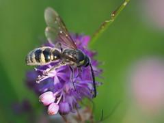 Scolia decorata wasp (コモンツチバチ) (Greg Peterson in Japan) Tags: shiga 滋賀県 bugs ritto 昆虫 wildlife 栗東市 コモンツチバチ shigaprefecture japan
