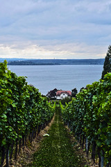Birnau-Maurach - Germany (1170917) (Le Photiste) Tags: clay birnaumaurachgermany vineyardatthebodenseenearbirnaumaurachgermany vineyard bodenseegermany landscape water waterscape waterlife ngc clouds vines nature planetearthnature planetearth mostrelevant mostinteresting panasonic panasonicdmcfx30 afeastformyeyes aphotographersview autofocus artisticimpressions blinkagain beautifulcapture bestpeople'schoice creativeimpuls cazadoresdeimágenes digifotopro damncoolphotographers digitalcreations django'smaster friendsforever finegold fairplay greatphotographers groupecharlie peacetookovermyheart clapclap hairygitselite ineffable infinitexposure iqimagequality interesting inmyeyes livingwithmultiplesclerosisms lovelyflickr myfriendspictures mastersofcreativephotography niceasitgets photographers prophoto photographicworld photomix soe simplysuperb showcaseimages simplythebest simplybecause thebestshot theredgroup thelooklevel1red vividstriking wow worldofdetails yourbestoftoday beautiful awesomeview perfectview house whitehouse mountainlake mountains mountainview painting