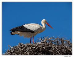 2017-05-15_Cigogne-0018.jpg (Hacheme 26) Tags: natureetpaysages cigogne oiseaux animaux saintesmariesdelamer provencealpescôtedazur france fr