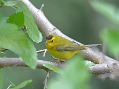 Wilson's Warbler (Digital Plume Hunter) Tags: