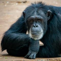 Chin rest (JKmedia) Tags: chimpanzee chimp ape monkey boultonphotography 2018 chesterzoo primate sonyrx10iii animal