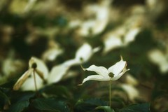 *** (pszcz9) Tags: przyroda nature natura naturaleza zbliżenie closeup kwiat flower beautifulearth bokeh sony a77