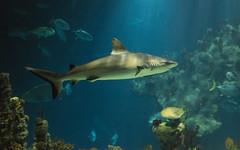 Grey Reef Shark (Peter Quinn1) Tags: thedeep greyreefshark hull kingstonuponhull aquarium shark