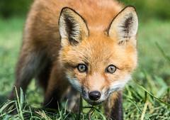 Red Fox Kit (Bill McMullen) Tags: redfox fox foxkit foxpup redfoxes ontario wildlife babyanimals