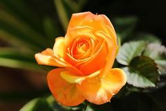 Merveilleuse. / Wonderful. (alainragache) Tags: canon600d flower orange closup greatphotographers rose