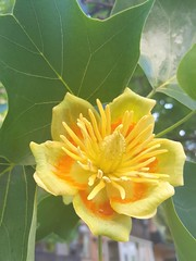Liriodendron tulipifera (Iggy Y) Tags: liriodendrontulipifera liriodendron tulipifera spring blossom flower yellow color flowers green leaves američkitulipanovac tulipanovac tuliptree americantuliptree tulippoplar yellowpoplar whitewood day light