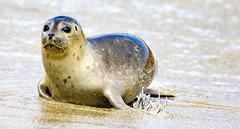18A_1296 (Mark Ritter) Tags: seal seals macro lajolla california