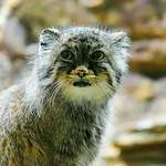 Pallas's Cat (Otocolobus manul) of Ueno Zoo, Tokyo : マヌルネコ(上野動物園) thumbnail
