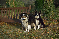 Chums (Mike & Indy) Tags: laddie dog dogs bordercollie llanfairfechan northwales