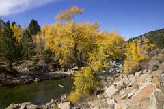 fishing hole (Jeff Mitton) Tags: fall autumn fallfoliage autumnfoliage fallcolors narrowleafcottonwood river arkansasriver colorado stream water tree earthnaturelife wondersofnature