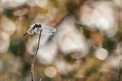 Dragonfly (Des.Nam) Tags: libellule dragonfly nature insecte faune bokey desnam nordpasdecalais nikon nord d800 nikond800 200500f56 lumière contrejour couleur color contraste flare