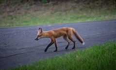 Why did the fox cross the road? (Pejasar) Tags: fox road animal canine street tulsa oklahoma mammal walk fur