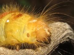 caterpillar (Birdernaturalist) Tags: bolivia butterfly caterpillar lepidoptera nymphalidae richhoyer