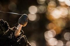 Autumnal glory (frattonparker) Tags: afsnikkor28300mmf3556gedvr btonner bokeh isleofwight lightroom6 nikond810 raw frattonparker fungi web contrejour backlit woodland woods