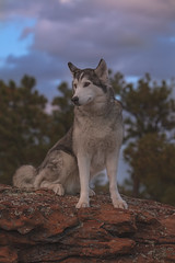 Aurora (Cruzin Canines Photography) Tags: animal animals canon canoneos5ds canon5ds canine 5ds eos5ds tamron tamron90mmf28dimacro11vcusd dog dogs domestic domesticanimal mammal pet pets husky huskies alaskanhusky siberianhusky aurora outdoors outside nature naturallight naturepreserve portrait colorado coloradosprings palmerpark