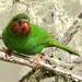Grass-green Tanager, Chlorornis riefferii 199A5846