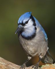 Blue Jay (KevinBJensen) Tags: bluejay avian ornithology birdwatching songbird wildlife blue jay cyanocitta cristata corvid passerine