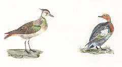 Lapwing and Duck by Johan Teyler (1648-1709). Original from the Rijks Museum. Digitally enhanced by rawpixel. (Free Public Domain Illustrations by rawpixel) Tags: otherkeywords animal antique art aves avian beak beautiful bird claw design dotterel drawing duck environment fauna feather feathers fowl illustrated illustration johanteyler lapwing lee life mallard name nature northern old ornithology painting plover plumage plume poultry quack retro species stand standing two vintage waterbird wild wildlife wing