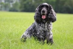 Golden Moment (excellentzebu1050) Tags: cockerspaniel cocker dog doggy pet spaniel animal animalportraits field farm closeup trees coth5 sunrays5