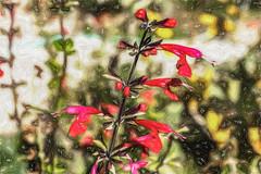 Humminbird Favorite (p) (davidseibold) Tags: america backyard bakersfield california colorpinkredpurple flower garden jfflickr kerncounty painting photosbydavid plant platoct postedonflickr tropicalsage unitedstates usa wildflower