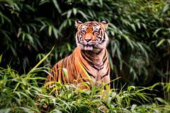 Intense Tiger 3-0 F 9-16-18 J160 (sunspotimages) Tags: animal animals tiger tigers nature wildlife zoo zoos zoosofnorthamerica nationalzoo fonz fonz2018