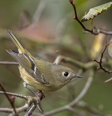 Ruby-crowned Kinglet (Eric_Z) Tags: rubycrownedkinglet kinglet portcoquitlam britishcolumbia canada canoneos7dmkii ef100400mmf4556lisiiusm
