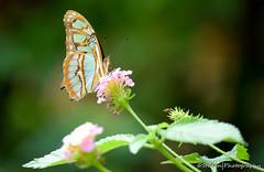 Siproeta stelenes (malachite) (stedanphotography) Tags: butterfly nikon d3300 macro