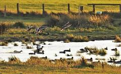 Duck Pond Landing Strip - Druridge (Gilli8888) Tags: northeast nature countryside nikon p900 coolpix druridge druridgeponds northumberland wetlands birds waterbirds water ducks mallardducks