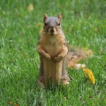 Squirrels in Ann Arbor at the University of Michigan - October 4th, 2018 thumbnail