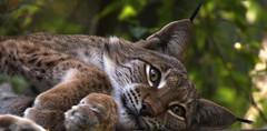 Kitty ... (Nephentes Phinena ☮) Tags: bigma eurasianlynx eurasischerluchs nikond500 sigma50500mmf463 wildparkschwarzeberge