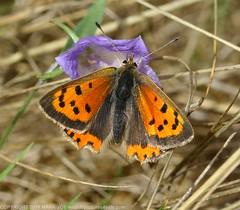 Small Copper (Lycaena phlaeas) Grimes Graves 15th September 2018 (4) (wildlifelover69) Tags: smallcopper lycaenaphlaeas grimesgraves norfolk 15thseptember2018 grimesgravesinsectsnorfolk butterfliesuk