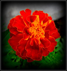 Natural Wonder (dimaruss34) Tags: newyork brooklyn dmitriyfomenko image flower marigold