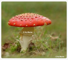 Autumn has arrived (ShotsOfMarion) Tags: shotsofmarion shots2remember flickr nikon autumnhasarrived deherfstisgearriveerd herfst paddestoel autumm mushroom champignon pilz fungo svamp 蘑菇 sopp amanitamuscaria vliegenzwam