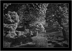 Garafía, Sony A7 IR, Nikkor 18mm/3.5 (Bartonio) Tags: 720nm bw blanconegro canaryislands clouds garafía infrared ir islascanarias lapalma landscape modified monochrome naturaleza nature nikkor18mm35 nubes paisaje pinar pine pino sonya7ir tree