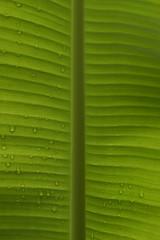 Between the lines (Vidya...) Tags: banana leaf green lines veins magic raindrops nature