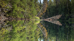 reflected reality (Sergey S Ponomarev - very busy) Tags: sergeysponomarev canon eos 70d nature natura landscape reflections riflessi taiga travel trip rafting wild north nord 2018 paesaggio paysage landschaft arkhangelsk trees woods forest flip august summer lestate ef24105mmf4lisusm flow river water grass сергейпономарев природа пейзаж река отражения кожа север европа россия тайга лес рафтинг сплав путешествие август лето russia russland russie