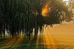 Weeping Willow (Croydon Clicker) Tags: tree willow weeping morning dawn daybreak sunrise sun flare sunburst mist fog shadow golden grass
