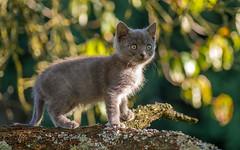 Kika (02) (Vlado Ferenčić) Tags: kittens kitty kittysuperstar animals pets vladoferencic animalplanet catsdogs vladimirferencic cats zagorje hrvatska hrvatskozagorje nikond600 tamron9028 closeup