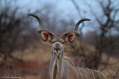Kudu bull (leendert3) Tags: leonmolenaar southafrica krugernationalpark wildlife nature mammals kudu ngc npc
